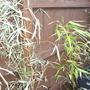 bamboo transplanted and wilting (bamboo)