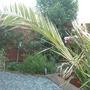 canary island date palm (Phoenix canariensis (Canary Island date palm))