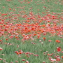 Corn Poppies  (from blog) (corn poppies)