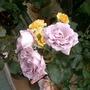 Blue Moon rose 1