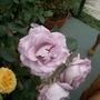 Blue Moon rose 2
