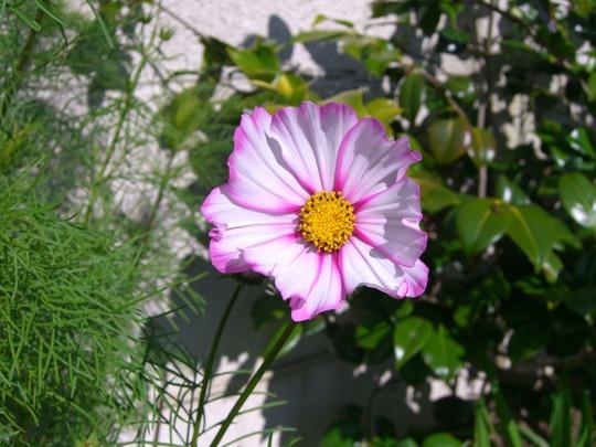 A garden flower photo (Cosmos bipinnatus)