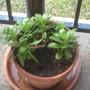 Pot of daisies.