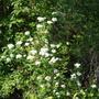 I Believe, Birch Leaf Spirea (Spiraea betulifolia)