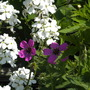 sweet rocket and geranium