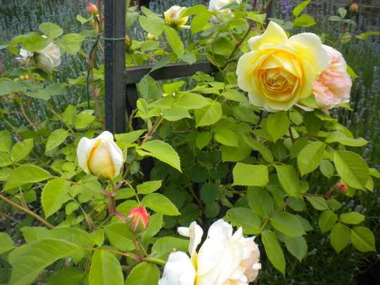 english rose on arch