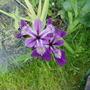 Iris Setosa for Greenthumb (Iris setosa (Beachhead Iris))