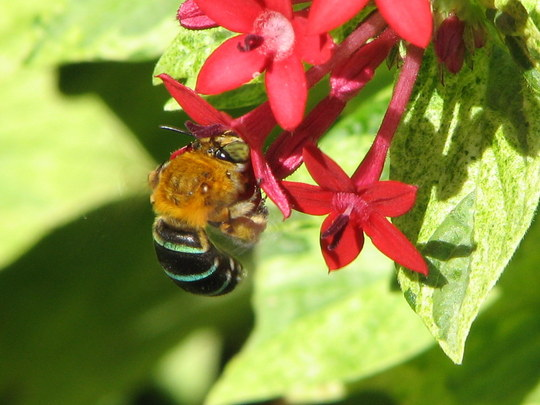 Early-Winter Downunder: our native Blue-Banded Bee