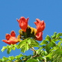Early-Winter Downunder: Spathodea campanulata - African Tulip Tree - beginning to bloom (Spathodea campanulata (African Tulip Tree))