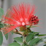 Early-Winter Downunder: Calliandra haematocephala - Red Powder Puff - blooming (Calliandra Haematocephala)