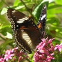 Early-Winter Downunder: Garden Visitor - Common Eggfly Butterfly