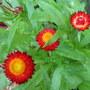 Early-Winter Downunder:  Bracteantha bracteata - Everlasting Daisy or Straw Daisy - blooming (Bracteantha bracteata, Helichrysum bracteatum)