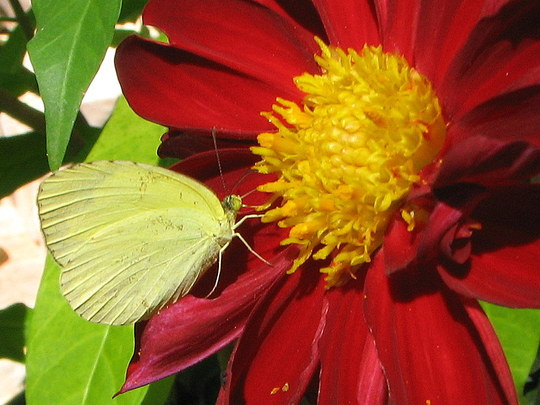 Early-Winter Downunder: Common Grass Yellow Butterfly on Dahlia