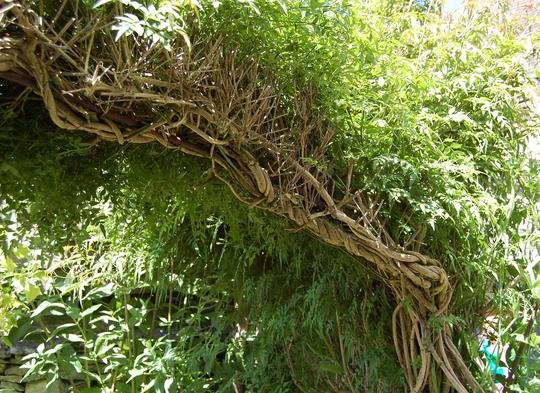 Jasmine arch (jasminum)