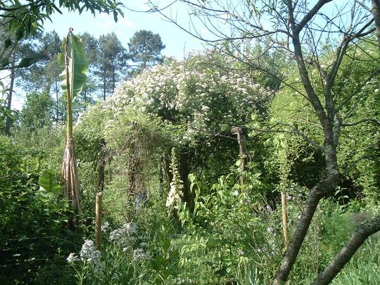 garden, rambling rose