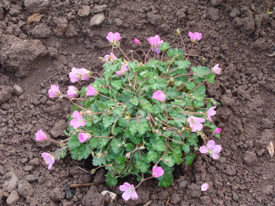 Erodium 'Pink' (Erodium x variabile (Heron's bill))