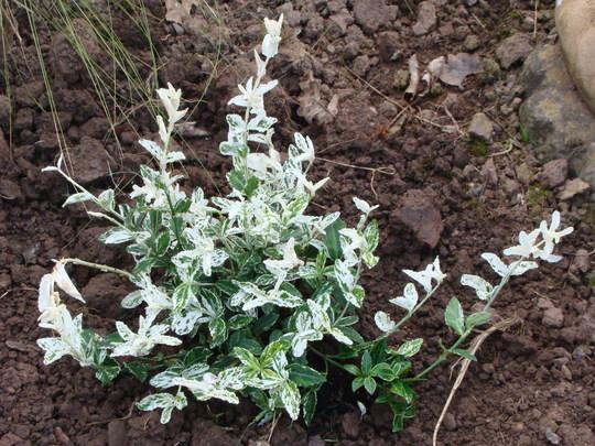 Euonymus 'Harlequin' (Euonymus fortunei (Euonymus))