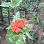 Lychnis, Maltese cross/Jerusalem cross (Lychnis chalcedonica (Jerusalem cross))
