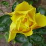 golden showers climbing (rosa)