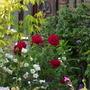 ruby wedding (Rosa hybrid T)