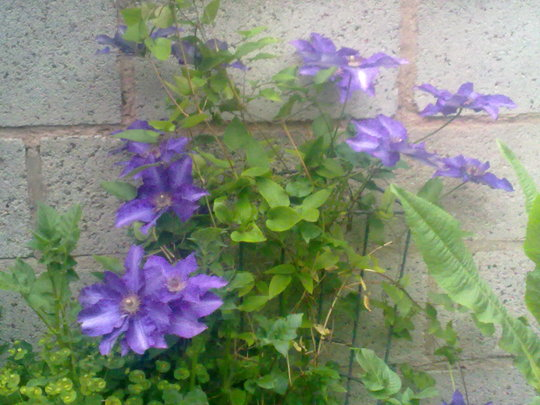 Two year old Clematis (clematis)