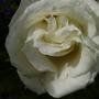 penelope (rosa)
