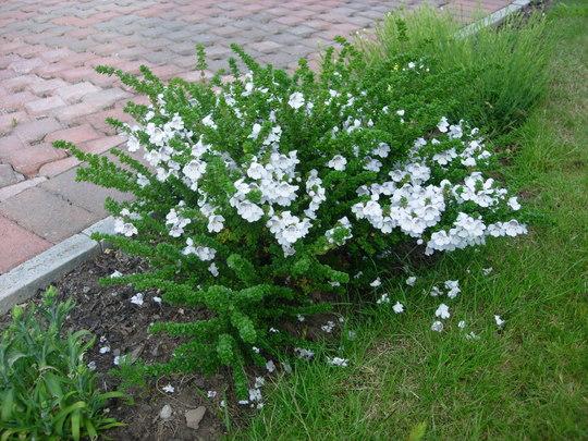 Prostranthera Cuneata (Prostanthera Cuneata)