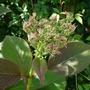 Hydrangea robusta flowerbud