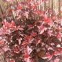 Physocarpus_lady_in_red_2