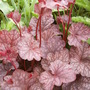 Heuchera 'Velvet Night' (Heuchera 'Velvet Night')