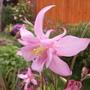 Aquilegia - McKenna's Large Flowered Hybrids  (Aquilegia 'McKenna Hybrids')