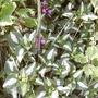 Lamium purpereum (Lamium purpureum (Henbit))