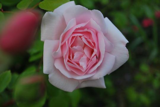 New Dawn... (Rose New Dawn)