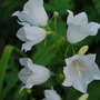 Canterbury Bell White. (Campanula medium (Canterbury bells))