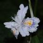 Iris Japonica (Iris japonica (Orchid Iris))