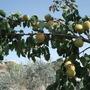 my tree's/apricot