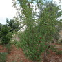 my tree's/peaches