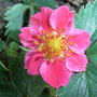 Fragaria 'Red Ruby' (Fragaria 'Red Ruby')