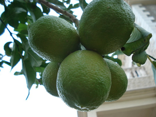 my tree's/lemon.