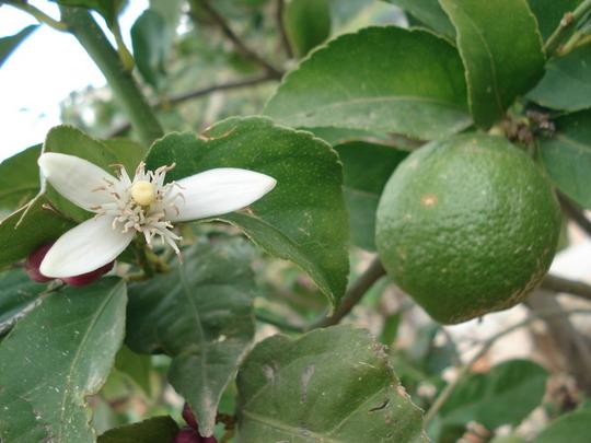 my tree's/lemon.