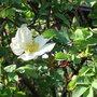 Rosa 'Nevada' (Rosa 'Nevada')