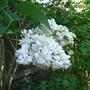 Syringa vulgaris 'Madame Lemoine' (Syringa vulgaris 'Madame Lemoine')