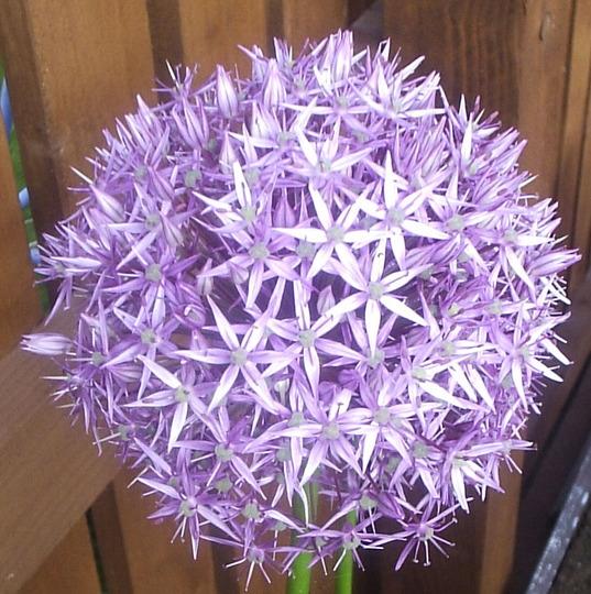 """Allium """"Beauregarde"""""""