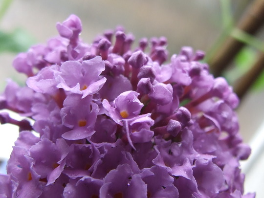Butterfly bush flower (Buddleja davidii)