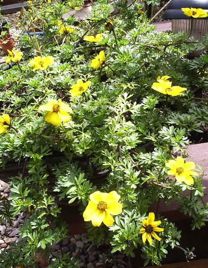 "Bidens ""Pirates Treasure"""