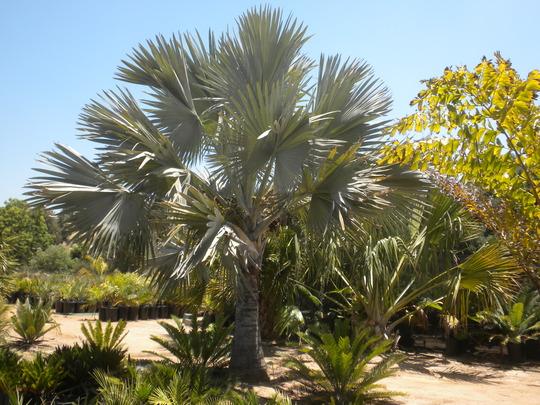 Bismarckia nobilis - Bismarck Palm  (Bismarckia nobilis - Bismarck Palm)