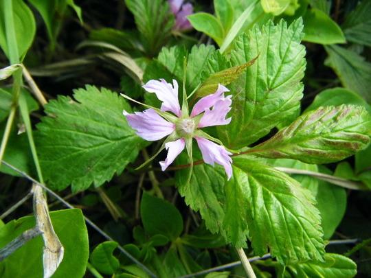 Rubus arcticus: Nagoonberry (Rubus arcticus)