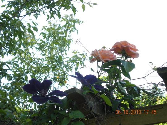 Clematis and Schoolgirl Rose