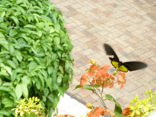 Black and yellow butterfly in my garden