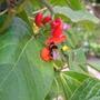 A garden flower photo (Phaseolus coccineus)